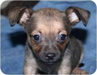 Chihuahua/Dachshund Mix Puppy for adoption in Harrisonburg, Virginia - Ginger