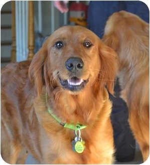 Golden Retriever Dog for adoption in Salem, New Hampshire - Happy