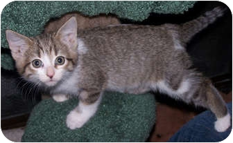 Domestic Shorthair Kitten for adoption in Owatonna, Minnesota - Vivienne