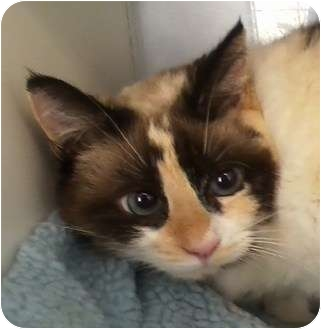 Calico Cat for adoption in Columbia, South Carolina - Delicious