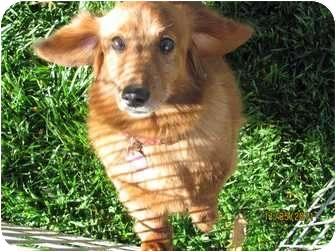 Dachshund Dog for adoption in Garden Grove, California - Teri