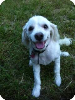 Cockapoo Mix Dog for adoption in Arlington, Texas - Marley
