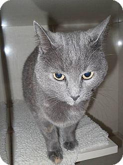 Domestic Shorthair Cat for adoption in Morden, Manitoba - Lacey