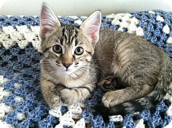 Domestic Shorthair Kitten for adoption in Fort Collins, Colorado - MADY