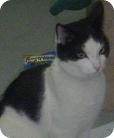 Domestic Shorthair Cat for adoption in Hamburg, New York - Heman
