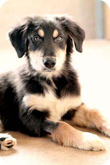 German Shepherd Dog/Border Collie Mix Puppy for adoption in Austin, Texas - Eliza
