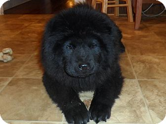 Chow Chow Dog for adoption in Bedminster, New Jersey - Wizz the Wonderdog