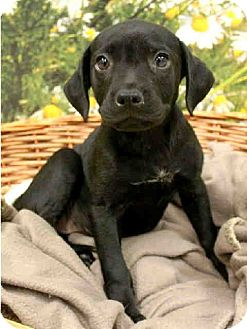 Labrador Retriever Puppy for adoption in Lufkin, Texas - Patty Cake