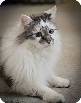Ragdoll Cat for adoption in Davis, California - Jules