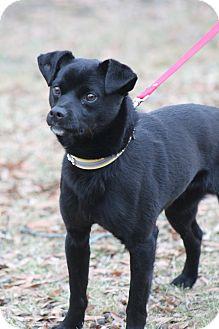 Pug/Labrador Retriever Mix Dog for adoption in Bedminster, New Jersey - Noah