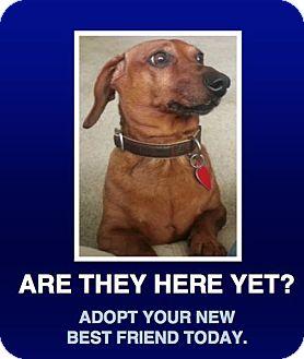 Dachshund Mix Dog for adoption in Morrisville, Pennsylvania - Roscoe