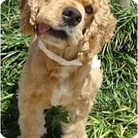 Adopt A Pet :: Simba - Sugarland, TX