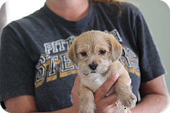 Shih Tzu Mix Puppy for adoption in Coventry, Rhode Island - John