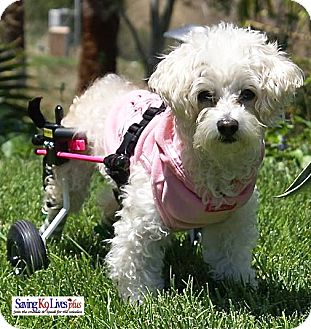 Poodle (Toy or Tea Cup)/Terrier (Unknown Type, Small) Mix Dog for adoption in Encino, California - Porscha on Wheels