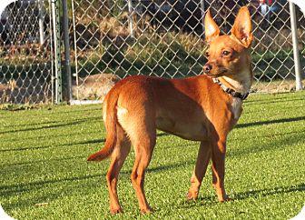 Miniature Pinscher Mix Puppy for adoption in Meridian, Idaho - Simba