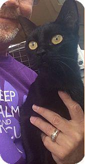 Oriental Cat for adoption in Eureka, California - Elektra