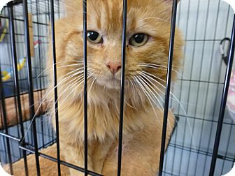 Manx Cat for adoption in Quincy, California - Red