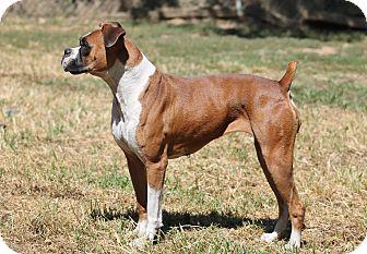 Boxer Dog for adoption in Marion, North Carolina - Neka