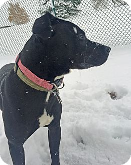Labrador Retriever Mix Dog for adoption in Troy, Michigan - Lexy
