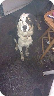 Australian Shepherd/Australian Cattle Dog Mix Dog for adoption in Chewelah, Washington - Soul