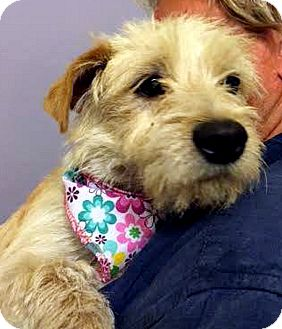 Terrier (Unknown Type, Small) Mix Puppy for adoption in Tijeras, New Mexico - Miel