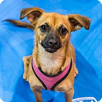 Adopt A Pet :: Joey - Henderson, NV
