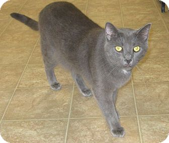 Domestic Shorthair Cat for adoption in Toledo, Ohio - Boggie