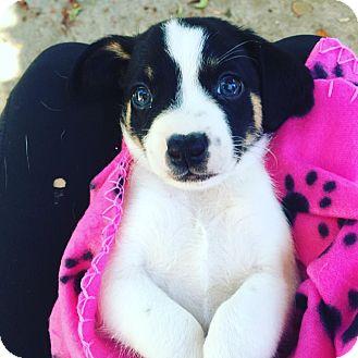 Rat Terrier/Toy Poodle Mix Puppy for adoption in Redondo Beach, California - Fletcher-ADOPT Me!