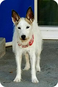 Jack Russell Terrier Dog for adoption in Newport Beach, California - Sassy