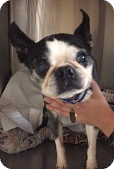 Boston Terrier Dog for adoption in Oak Ridge, New Jersey - Pickles
