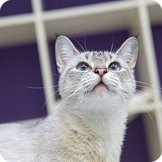 Domestic Shorthair Cat for adoption in Houston, Texas - Lucy