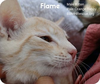 Domestic Shorthair Kitten for adoption in Temecula, California - Flame
