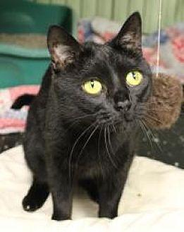 Domestic Shorthair Cat for adoption in Yukon, Oklahoma - Shrimp
