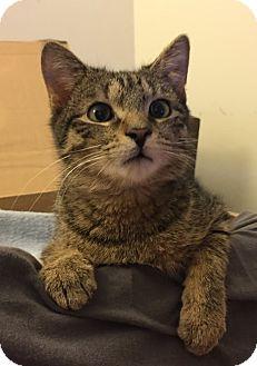 Domestic Shorthair Kitten for adoption in Arlington, Virginia - Jasper -Adoption Pending
