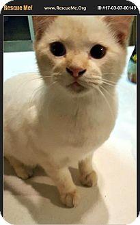 American Shorthair Cat for adoption in Horseshoe Bay, Texas - Harley