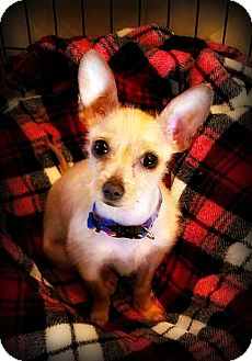 Terrier (Unknown Type, Small)/Chihuahua Mix Dog for adoption in Tijeras, New Mexico - Canela