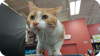 Domestic Shorthair Cat for adoption in Columbus, Ohio - Orangesicle