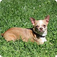 Adopt A Pet :: Chi Chi - Bedford, VA