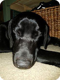 Labrador Retriever Mix Dog for adoption in Brattleboro, Vermont - Jericho