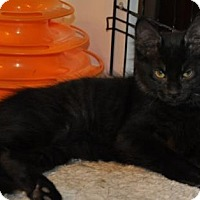 Domestic Mediumhair Kitten for adoption in O'Fallon, Missouri - Omar