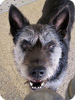 Giant Schnauzer Mix Dog for adoption in Georgetown, Texas - Tori