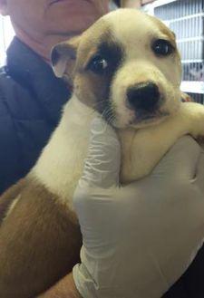 American Staffordshire Terrier Mix Dog for adoption in Prineville, Oregon - Waylon