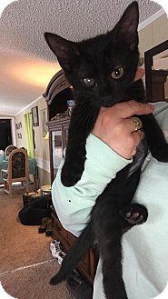 Domestic Shorthair Kitten for adoption in Tampa, Florida - Peyton