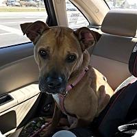 Adopt A Pet :: Sugar - Pinellas Park, FL