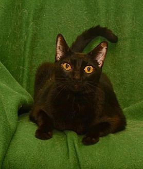 Domestic Shorthair Cat for adoption in Sanford, Florida - Lola * Front Declawed Black Beauty*