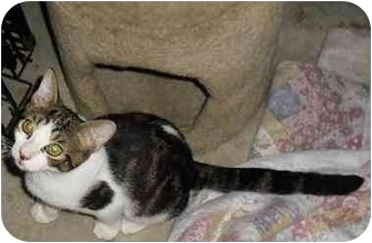 Domestic Shorthair Kitten for adoption in Palm Bay, Florida - Frosty