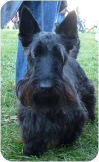 Scottie, Scottish Terrier Dog for adoption in Omaha, Nebraska - Maximus-*Snazzy Senior