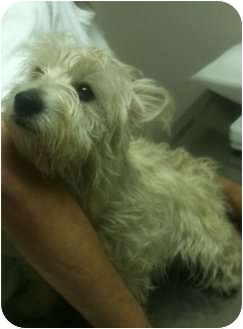 Westie, West Highland White Terrier Mix Dog for adoption in Olive Branch, Mississippi - Dotty HOMELESS 4 the HOLIDAYS!