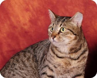 Domestic Shorthair Cat for adoption in Columbus, Georgia - HEIDI 5423