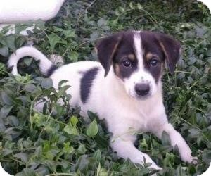 Collie/Border Collie Mix Puppy for adoption in Beacon, New York - Sissy